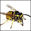 bee pest and Vermin Control, wasp exterminator  Essex,