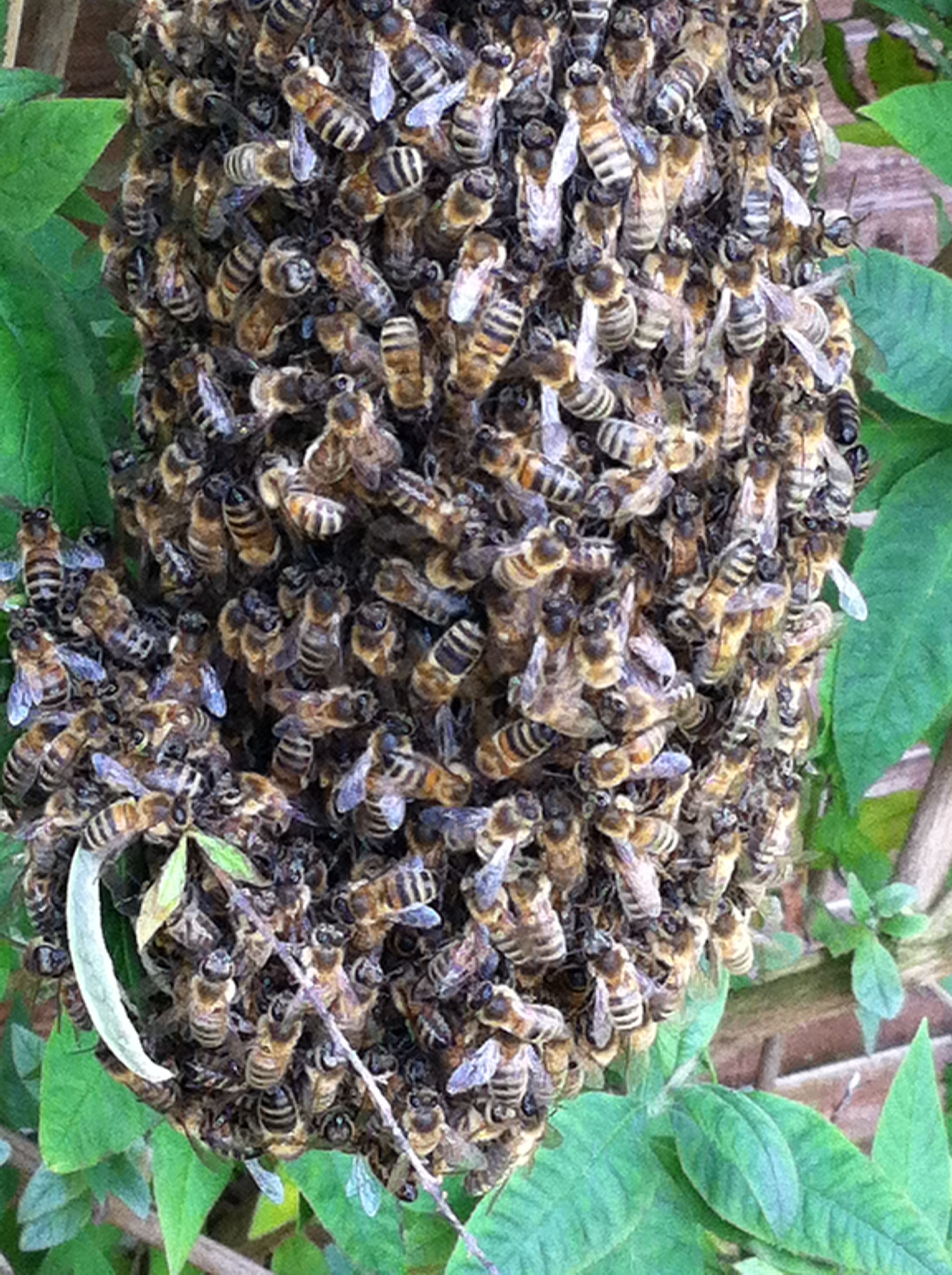 Honey Bees In Rayleigh Essex
