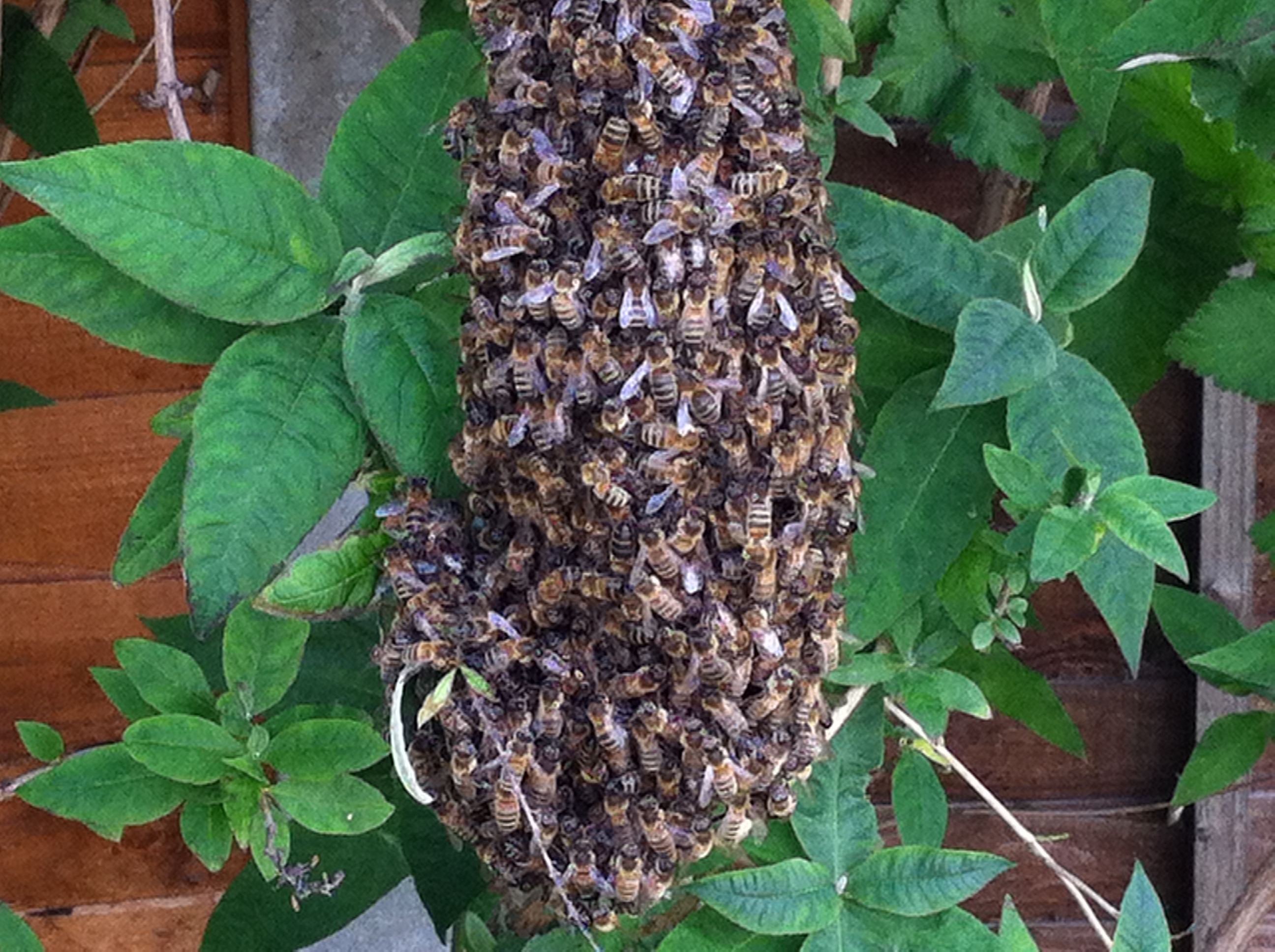 Southend/Rayleigh Pest Control Honey Bee removal
