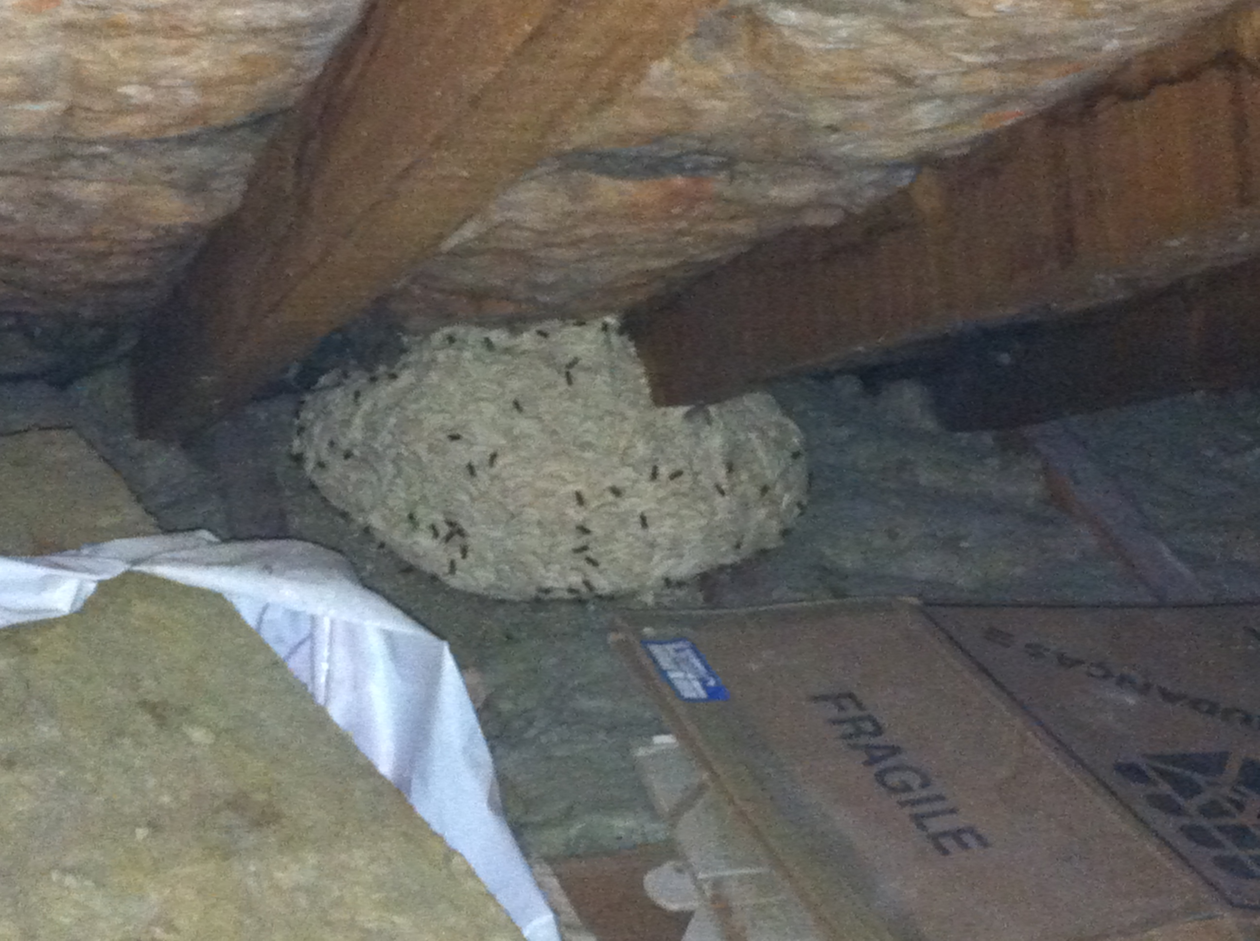 Pest control Rayleigh. Wasps Nest treatment
