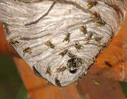 Wasps nest Southend Essex