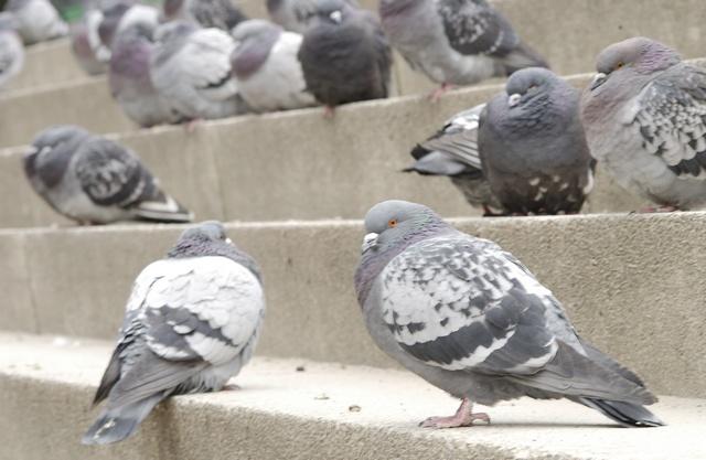 Pigeon proofing Essex