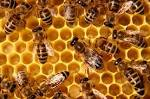 bee pest and Vermin Control, bee control Essex,