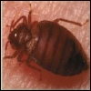 bee pest and Vermin Control, bedbug eradication Essex,